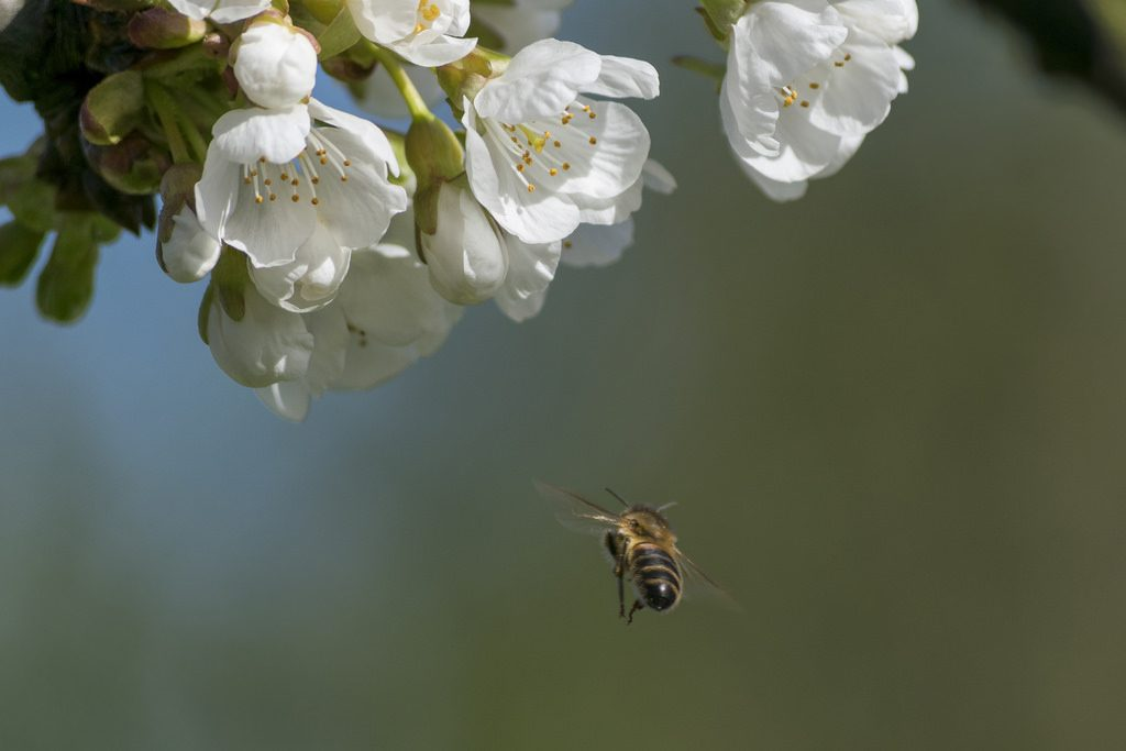 Bees love apple blossom